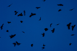 Crows Cavorting - Discovery Passage Crow photo