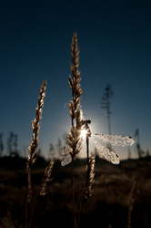 Sunrise Damselfly - Cortes Island Damselfly photo