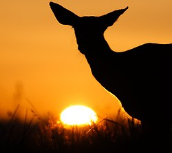 Blacktail Deer and the Setting Sun - Cortes Island Deer photo