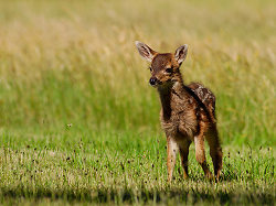 Spotted Baby Blacktail Deer - Cortes Island Deer photo