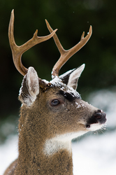 Blacktial Buck - Cortes Island Deer photo