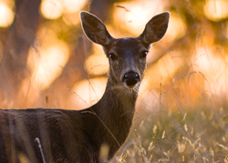 Doe Portrait - Cortes Island Deer photo