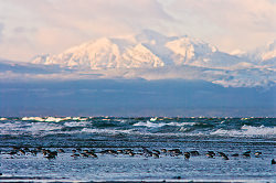 Mountain and Dunlin - Cortes Island Dunlin photo
