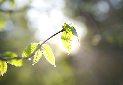 Sun Shining Through Filbert Leaves - Slocan Valley Filbert Tree photo