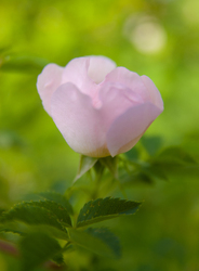 Pink Garden Rose - Cortes Island Flower photo