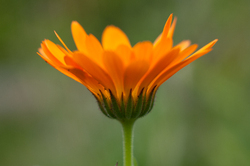 Calendula Flower -  Flower photo