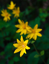Arnica flowers - Slocan Valley Flower photo