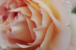 Rose Petals -  Flower photo