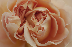 Rose Flower Detail -  Flower photo