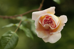 Rose -  Flower photo