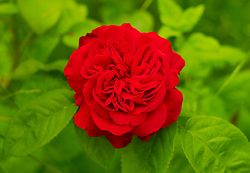 Red Rose -  Flower photo