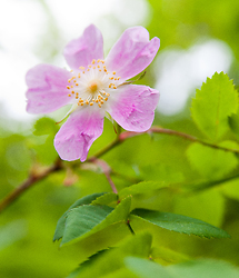 Wild Rose Blossom - Slocan Valley Flower photo