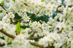 A World of White Cherry Blossoms -  Flowering Tree photo