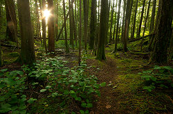 Sun on the Path to Green Mountain - Cortes Island Forest photo