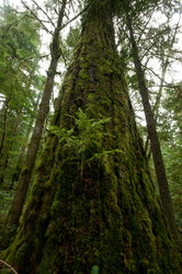 Climax Forest - Cortes Island Forest photo