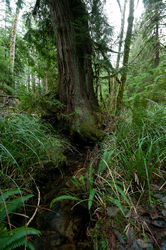 Water Flowing Under Tree - Cortes Island Forest photo