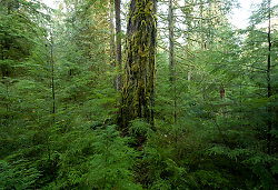 Mossy Fir Trunk - Cortes Island Forest photo