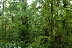 Grandfather Douglas Fir - Cortes Island Forest photo