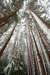 Winter Wonderland - Cortes Style - Cortes Island Forest photo