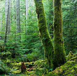 Two Moss-covered Alders - Cortes Island Forest photo