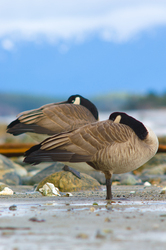 Canada Geese - Cortes Island Geese photo