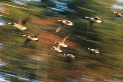 Canada Geese in Flight - Cortes Island Geese photo