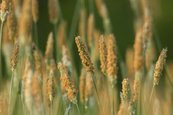 Flowering Grasses - Aillevillers Grass photo