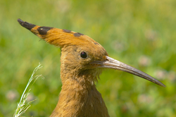 Upupa epops - Luxor Hoopoe photo