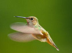 Rufous Hummingbird in flight - Cortes Island Hummingbird photo