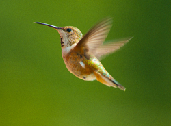 Rufous Hummingbird - Cortes Island Hummingbird photo