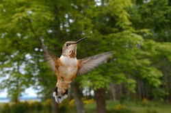 Rufus Hummingbird In the Forest - Cortes Island Hummingbird photo