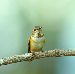 Rufus Hummingbird Portrait -  hummingbird photo