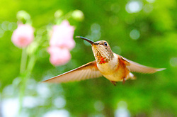 Rufus Hummingbird Hovering Near Flower -  hummingbird photo