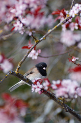 Junco in the Cherry Tree - Cortes Island Junco photo