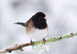 Junco on a Cold Winter Day - Cortes Island Junco photo