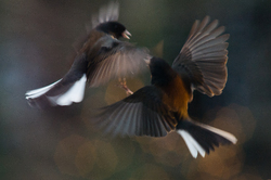 Dueling Juncos - Cortes Island Junco photo