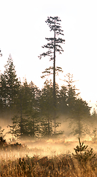 Morning Time with Douglas Fir - Cortes Island  photo