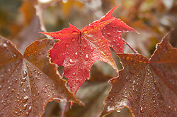 Autumn Maple Leaves -  Maple Leaf photo