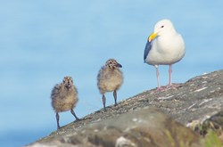 Seagull Family ~ Baby Bird picture from Mitlenatch Island Canada.