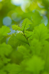 Oak Leaves - Aillevillers Oak Tree photo