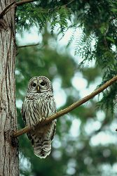 Barred Owl - Cortes Island Owl photo
