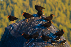Black Oystercatchers - Cortes Island Oystercatcher photo