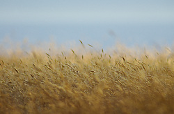 Late Summer Grasses - cortes island  photo
