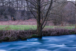 An alder by the Auberonne - Aillevillers River photo
