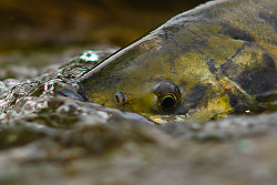 Portrait of a Chum Salmon in Basil Brook - Cortes Island Salmon photo