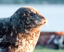 Whiskers - Comox Seal photo