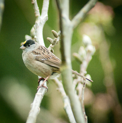 Golden-crowned sparrow -  Sparrow photo