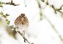 Song Sparrow - Cortes Island Sparrow photo
