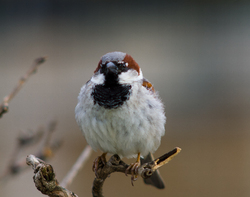 House Sparrow - Paris Sparrow photo