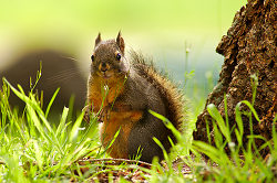 A Squirrel at the Foot of Its Tree - Cortes Island Squirrel photo